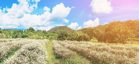 White chrysanthemum filed Type Species name Chrysanthemum indicum linn on blue sky. Soft flare sunlight.