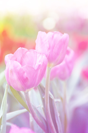 Pink tulip blooming in the flower garden at morning. Pastel tone.