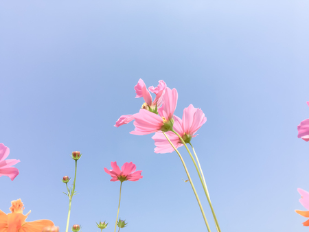 asteraceae: Cosmos flower color pink and yellow background blue sky with copy space.