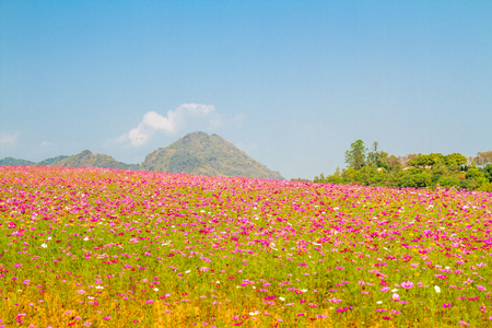 Cosmos flower field landscape color pink, yellow and white background blue sky with copy space.