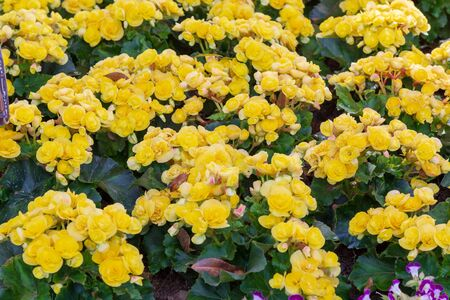 Beautiful yellow Begonia Big Flower Scientific name is Begonia obliqua Family is Begoniaceae  Normal name is Begonia blooming in the garden.