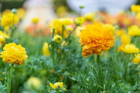 Yellow Ranunculus blossom beautiful in the garden spring season. Standard-Bild