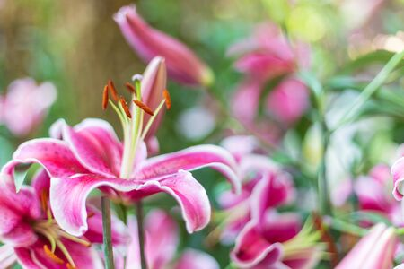 Red Lily blossom beautiful in the garden spring season. Banco de Imagens