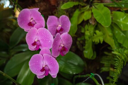 Moth Orchid in garden Species Phalaenopsis cultivar Scientific name Phalaenopsis amabilis Family name Orchidaceae. Stock Photo