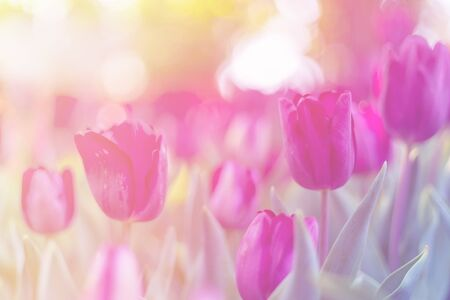 Purple tulip blossom beautiful and morning sunlight in garden spring season. Stock Photo