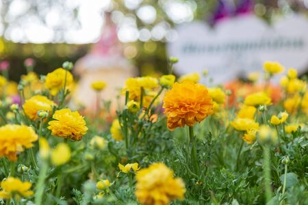 Yellow Ranunculus blossom beautiful in the garden spring season. Stock Photo