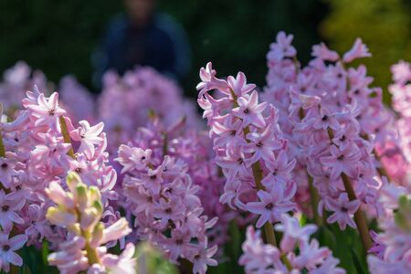 Hyacinth flower in garden. Kingdom name Plantae, Scientific name Hyacinthus and Family name Asparagaceae. Stock Photo