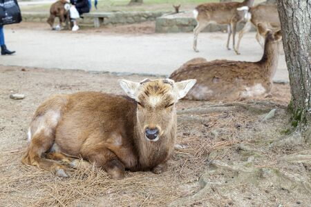 The cute deer is a symbol of the city and is believe to represent the gods in the Kasuga Shrine area And Nara Park A famous tourist destination in Nara Prefecture, Kansai region, Japan.