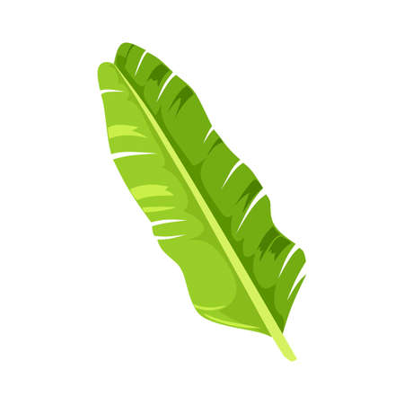 green leaf of banana palm tree on white background. Colorful graphic design element for print, pattern or postcard.illustration - Vector