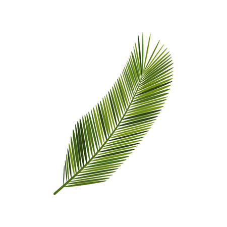 coconut green leaf isolated on white background .vector.