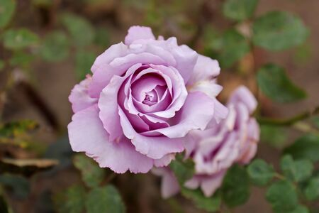 Rare varieties of roses open bud. View from above Stock Photo - 12911434
