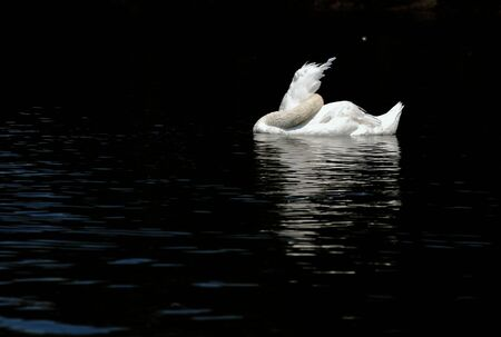 Beautiful White Swan sleeps on the dark water  Stylish, elegant background photo