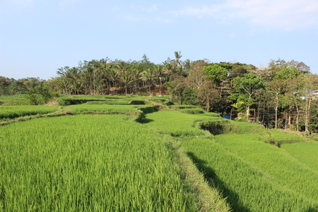Paddy Rice Field in Indonesia
