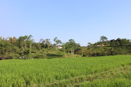 Paddy field in java indonesia Stock Photo