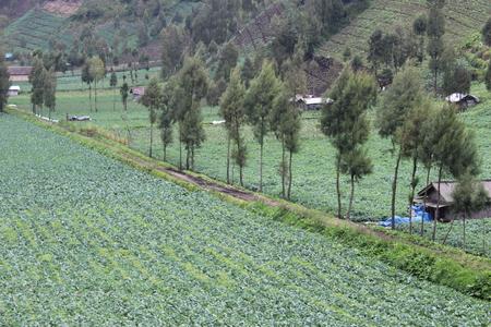 Vegetable field in bromo tengger semeru park, Indonesia