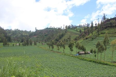 Vegetable field in bromo tengger semeru park, East Java, Indonesia