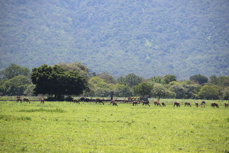 Deer in Baluran Savana Forest in Situbondo, East Java, Indonesia