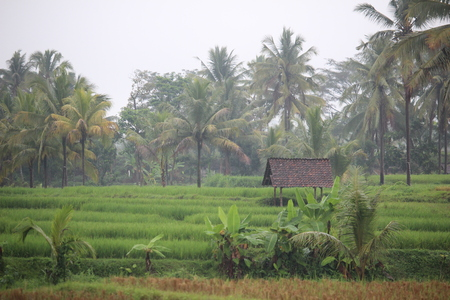 Paddy farm Rice agriculture growth plant rural countryside  in Indonesia
