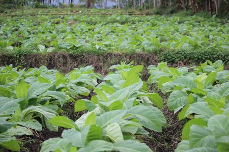 tobacco fields in probolinggo, Indonesia