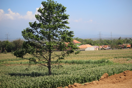 An alone tree standing in the farm in Probolinggo, East Java, Indonesia