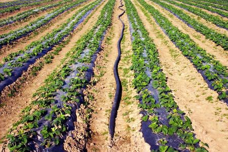irrigated: Irrigated strawberry field