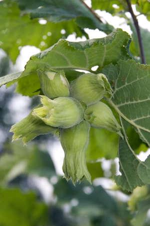 corylus: Close up of green raw hazelnut