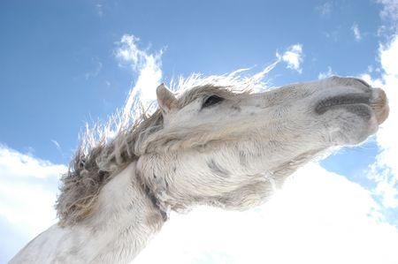 Witte paard hoofd