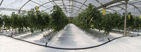 온실에서 토마토 수경 재배