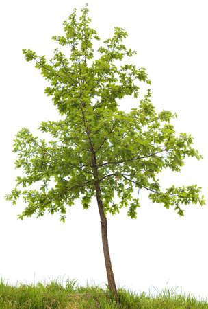 흰색 배경에 고립 된 작은 오크 나무 스톡 콘텐츠