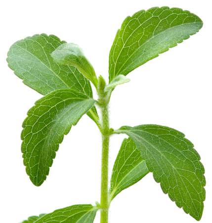 흰색 배경에 고립 된 스테비아 rebaudiana, sweetleaf 설탕 대용품 스톡 콘텐츠 - 9753450