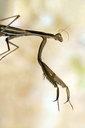 predatory insect: Large brown praying mantid, Archimantis latistyla