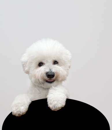 Bichon frise dog isolated on gray background Standard-Bild