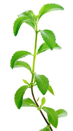 Stevia rebaudiana, sweetleaf Zuckeraustauschstoff Standard-Bild - 11255090