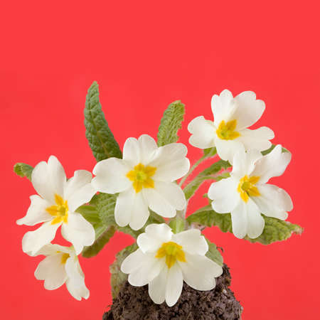 primula: Herald of Spring, Primrose Flowers  Primula Vulgaris  Isolated on Red Background