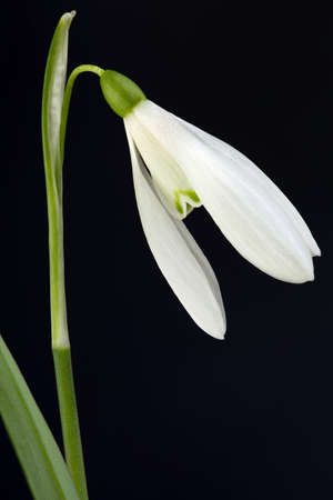 snowdrop: Herald of Spring, Snowdrop Flower Isolated on Black Background
