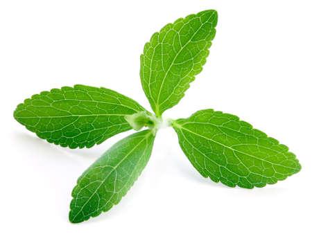흰색 배경에 고립 된 스테비아 rebaudiana, sweetleaf 설탕 대용품