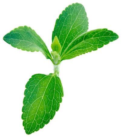 흰색 배경 복사 공간에 고립 된 스테비아 rebaudiana, 달콤한 식물 잎, 설탕 대용품 스톡 콘텐츠