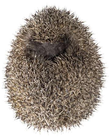 Dreamy Hedgehog in Fetus Position photo