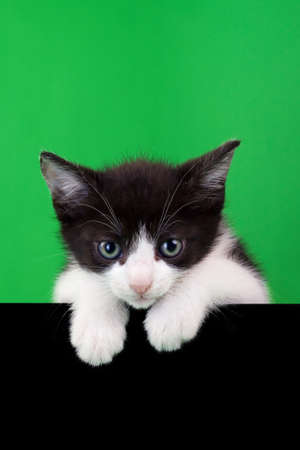 animal pussy: Small Domestic Cat Cutout on Green and Black Background Stock Photo