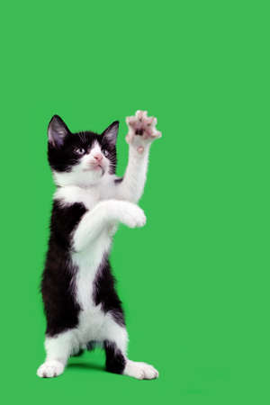 attention grabbing: Upright Domestic Cat Catching Isolated on Green Background