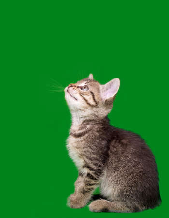Domestic Cat Looking Up Isolated on Green Background Stock Photo - 13986366