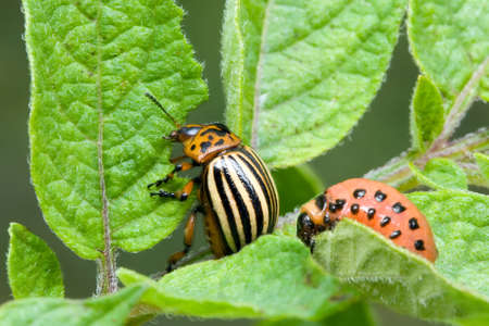 potato leaves: Colorado Potato Beetle, Leptinotarsa Decemlineata