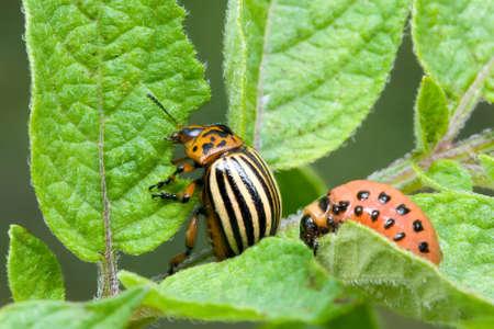 escarabajo: Escarabajo de la patata, Leptinotarsa ??decemlineata