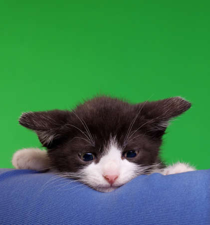 gremlin: Cute Gremlin Cat Isolated on Green Chroma Key Background
