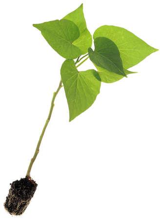 camote: Ipomoea batatas, las plantas de la patata dulce aisladas sobre fondo blanco Foto de archivo