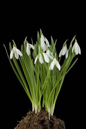 Turf of Snowdrop flowers Isolated on White Background photo