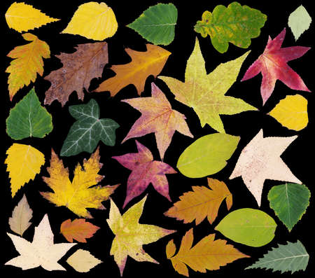 herbarium: Colorful Fall Leafs Isolated on Black Background Stock Photo