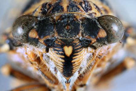 cigarra: Macro Shoot si Cicada Insect Head Orni