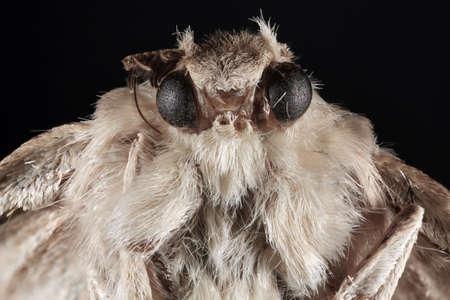 arthropoda: Portait of Night Moth Butterfly