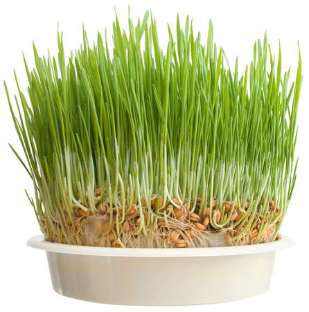 wheat grass: Christmas Wheat in Flowerpot Isolated on White Background